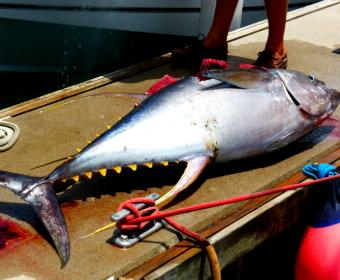 150 Kg Yellow Fin Tuna