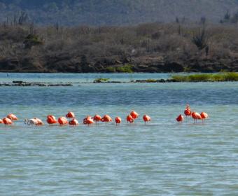 Flamingos in Willibrordus, Curacao
