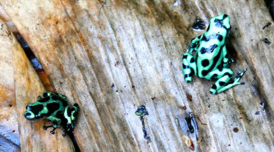 Rainforest, grün-schwarzer Pfeilgiftfrosch
